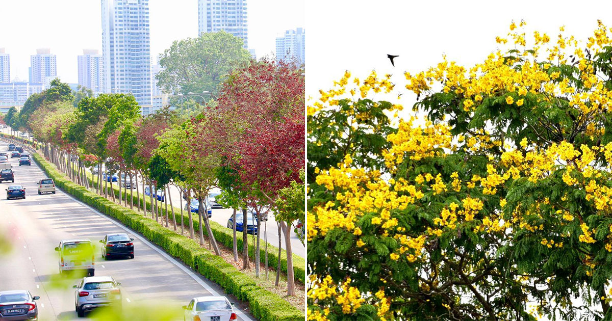 Singapore turns Autumn-ish as trees along streets bloom in vivid red and yellow