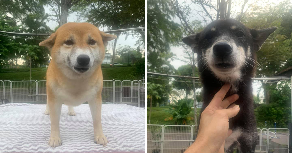 8 adorable Shiba Inu dogs are up for adoption for pet lovers, but has with strict interview criteria